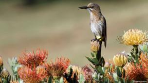 Sugarbird on a protea
