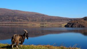 Goat near Ullapool in the Highlands