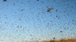 A helicopter of the Food and Agriculture Organization of the United Nations (FAO) flies through Locusts