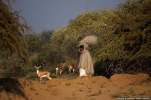 Bishnoi man walk passes through a group of Chinkaras in a forest area near Jodhpur, Rajasthan, India. Bishnois are sect of people who religiously protect nature and they are the original ecologists from India.