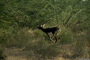A wild male full grown black buck in the forest area near Jodhpur, Rajasthan, India.