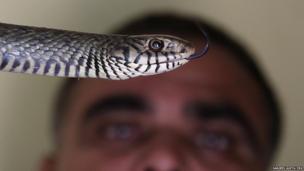 Snake expert Mohd Saleem holds a rat snake