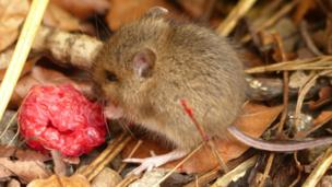Field mouse eating a raspberry