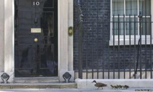 A mother duck and her ducklings walk past the front door of Number 10 Downing Street in London