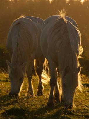 Horses and midges