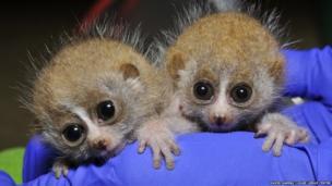 Pygmy slow loris infants