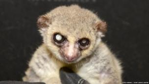 Jonas the 29-year-old lemur