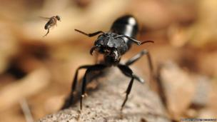 fly attacking ant