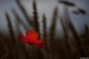 Red poppy against a dark background