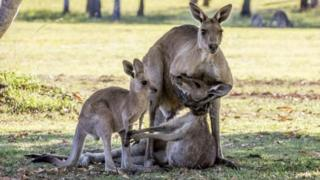 Kangaroo cradles dying mate while joey watches on