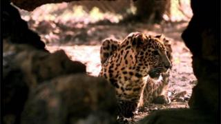 Jagan, an Asian leopard, hides in an opening between rocks in his enclosure at the Nandankanan wildlife sanctuary in Bhubaneshwar, 700 kms south of Calcutta, Monday November 8, 1999.