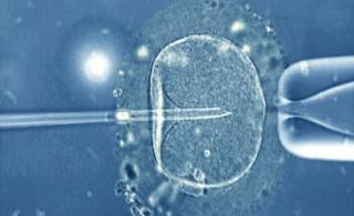 A human egg injected with a micro-needle that contains a single sperm
