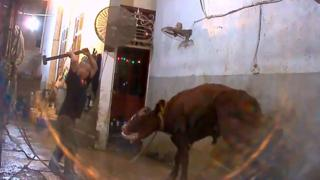 Worker shown in video clip still about to club a cow over the head with a sledgehammer