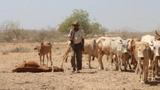Cows in Marsabit, Kenya