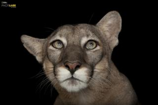 Florida Panther (Puma concolor coryi) Lowry Park Zoo, Tampa, Florida © Photo by Joel Sartore/National Geographic Photo Ark