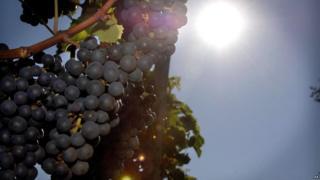 Bunch of grapes at British vineyard