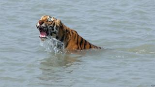 In this photograph taken on February 18, 2008, a rescued tigress swims in the river Sundarikati after release by the forest workers at Sunderbans, some 150 kms south of Kolkata.