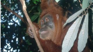 Orangutans are currently found only in the rainforests of Borneo and Sumatra