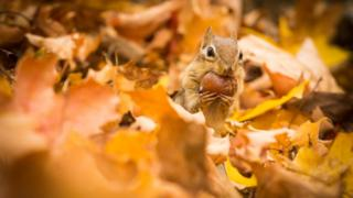 A chipmunk collecting acorns during the fall
