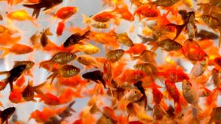 A picture of dozens of goldfish in a tank