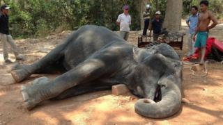 Elephant lying on side with mouth open, in dust and surrounded by people