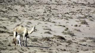 A camel with her calf in the Iraqi desert near Samawa, 14 December 2015