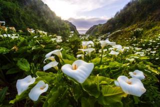 The Wild Calla Lily Valley - Jean Li / www.igpoty.com