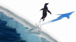 Un pingüino salta del Mar de Ross