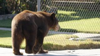 File image of a black bear in a town