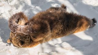 brown bear lying in snow