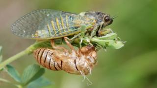 Cicada Cicadetta montana