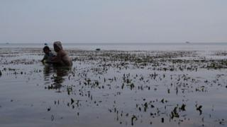 Seagrasses have existed since the time of the dinosaurs