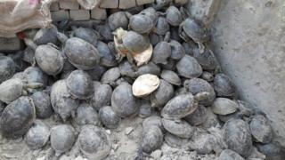 Flapshell turtles