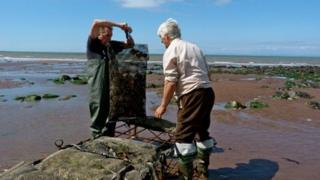 Porlock oysters being harvested