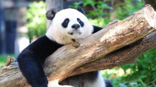 This file photo taken on August 24, 2016 shows Giant panda Mei Xiang resting in her enclosure at the National Zoo in Washington, DC