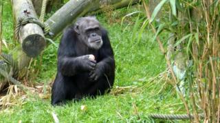 chimpanzee eating an apple