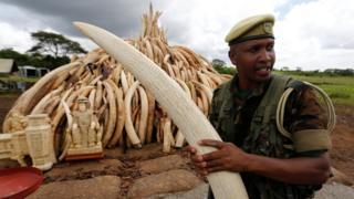 A Kenya Wildlife Service (KWS) ranger stacks elephant tusks, part of an estimated 105 tonnes of confiscated ivory to be set ablaze, onto a pyre at Nairobi National Park near Nairobi, Kenya, April 28, 2016.