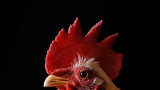 Un gallo