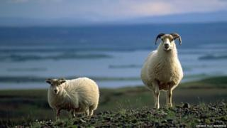 Two sheep standing in front of a lake in Iceland