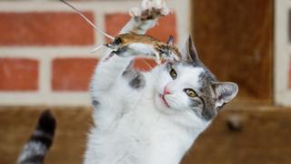 A cat plays with a mouse it has caught