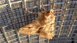 Corn earworm moth (Image: Josiah Maine)