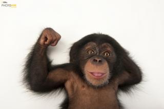 A three-month-old baby chimpanzee (Pan troglodytes) Lowry Park Zoo, Tampa, Florida