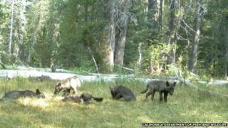Wolf pups in Northern California