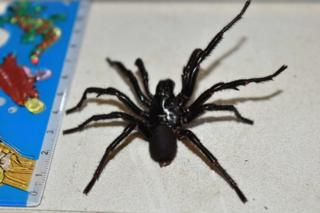 A picture of Big Boy, a 10cm funnel web found in Australia