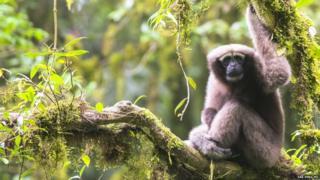 Skywalker hoolock gibbon