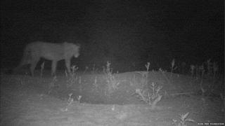 lion from a camera trap