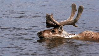 The animals are now having to swim across more water as the environment changes