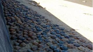 Dead horseshoe crabs