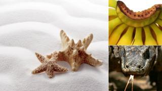 морская звезда, бананы, комодский варан