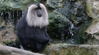 Another lion-tailed macaque at Howletts